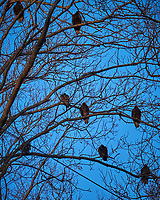 Turkey Vultures in a Neighbors Tree. Image taken with a Fuji X-T1 camera and 100-400 mm OIS telephoto zoom lens (ISO 200, 100 mm, f/5.6, 1/140 sec).