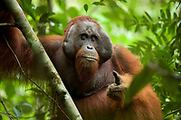 "Bornean Orangutan - ""wurmbii"" subspecies<br />