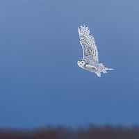 Panoramic image of a female Snowy Owl taking off from fence post in field near Barrie. Ontario Canada late in the afternoon. Five separate images were blended in Photoshop to create this panoramic.