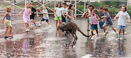 "Children from the Vacation Bible School at Immanuel Lutheran School in danbury chase a baby kangaroo named Woody friday as part of an ""Outback Adventure.""  The wildlife was provided by Jan Veilleux."