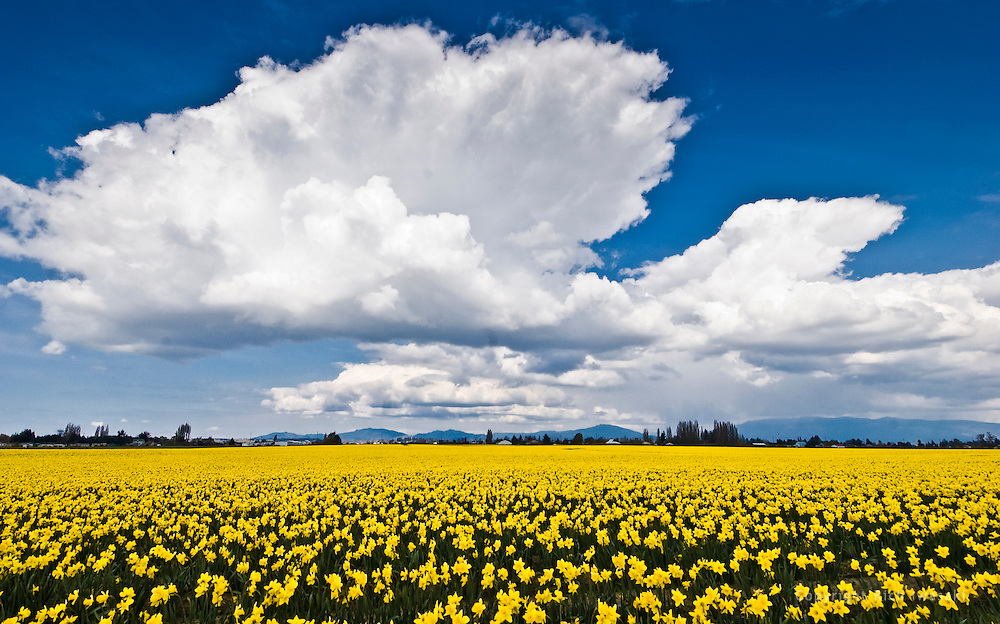 Daffodil flowers and clouds, Skagit Valley, near Mt. Vernon, WA