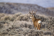 Mule deer buck in Wyoming during fall rut