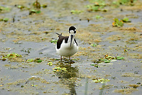 Black-necked Stilt (Himantopus mexicanus),  Green Cay Nature Centre, Delray Beach, Florida, USA   Photo: Peter Llewellyn