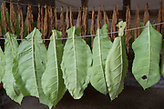 Tabakblätter zum Trocknen aufgehängt, Hessen, Deutschland | Tobacco leaves hung up to dry, Hessen, Germany