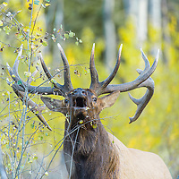 bull elk bugling in fall grass aspen trees