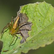 Burmese Lynx Spider, Oxyopes birmanicus.