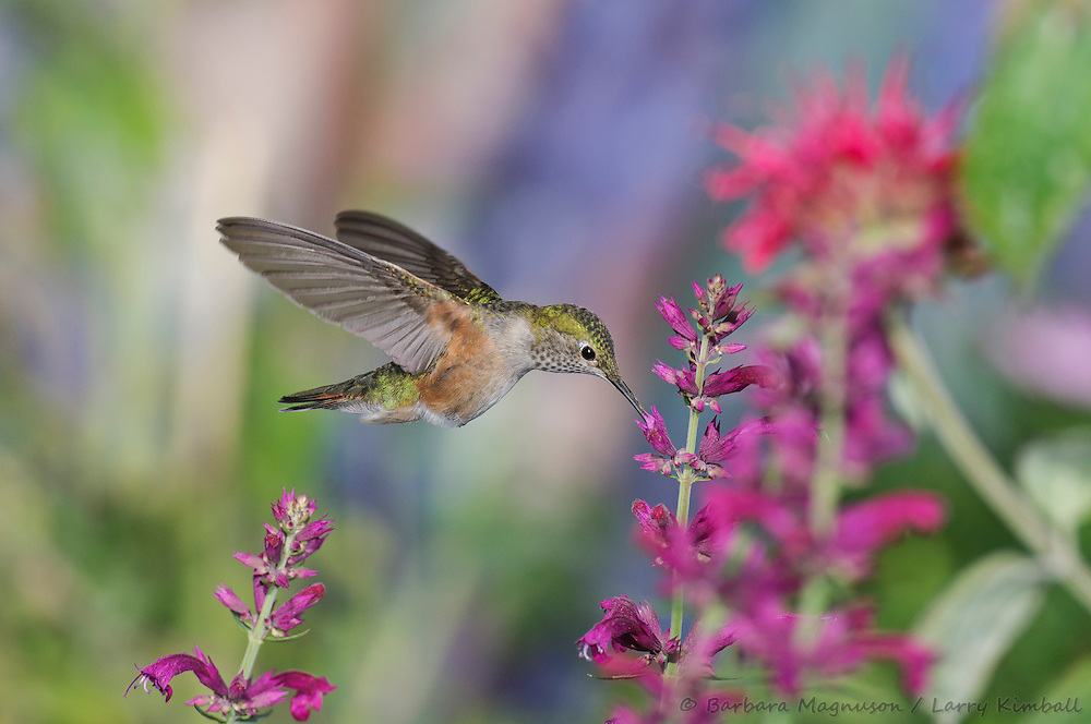 Broad-tailed Hummingbird [Selasphorus platycercus] female , visiting .Agastache cana flowers; Fremont County, Colorado