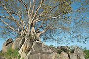 Tree on rock outcrop..Near Pottivul on the East coast of the island..2010