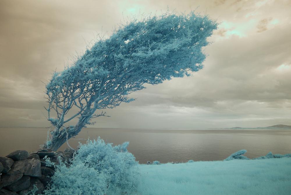 Windformed tree (Crataegus), Burren region, Ireland