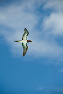 A Brown Booby (Sula leucogaster) in flight near the island of Anguilla, The Caribbean