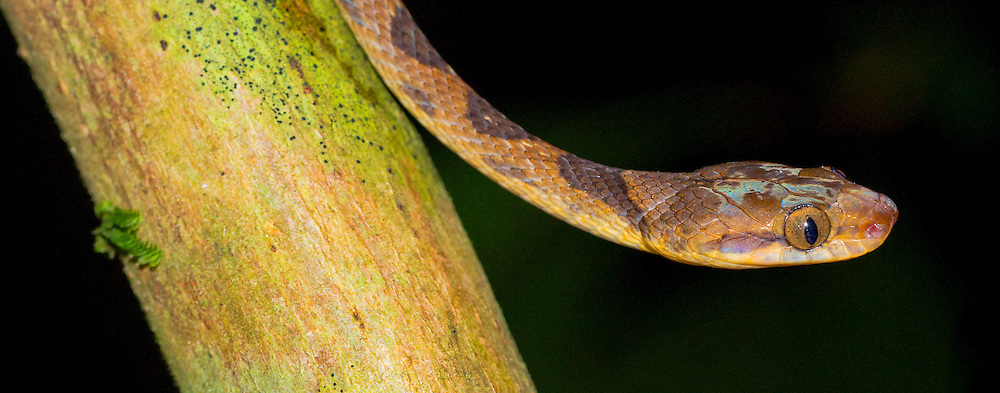 Alberto Carrera, Blunthead Tree Snake,  Imantodes cenchoa,  Tropical Rainforest, Corcovado National Park, Osa Conservation Area, Osa Peninsula, Costa Rica, Central America, America