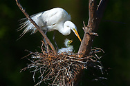 Momma Great Egret and her first hatchling