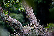 Carajas_PA, Brasil...Floresta Nacional de Carajas. Na foto ninho de uma Harpia (Harpya harpyja) no galho de uma arvore  na floresta amazonica, Para...Harpy (Harpy harpyja) nest on the branch in brazilian walnut (Bertholletia excelsa) in the Amazon forest in the Floresta Nacional de Carajas, Para...Foto: JOAO MARCOS ROSA / NITRO .