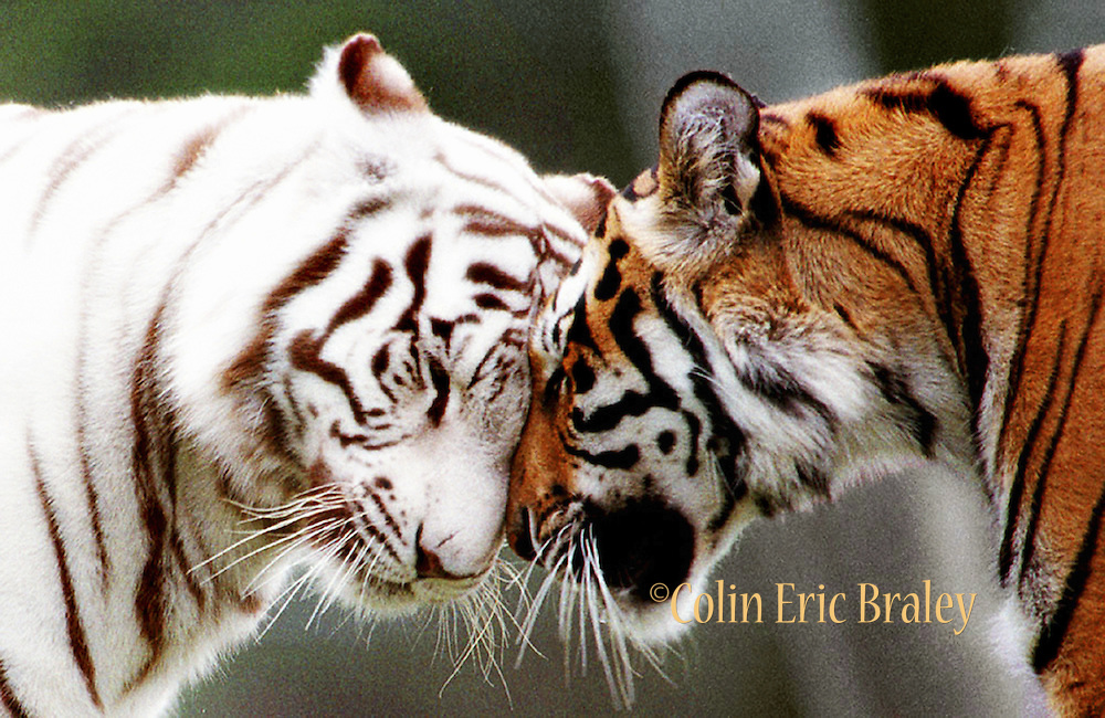 """Bengal tigers affectionately greet each other in the """"Big Cats"""" area of the Miami-Dade County Zoo. April, 2005. Colin Braley"""