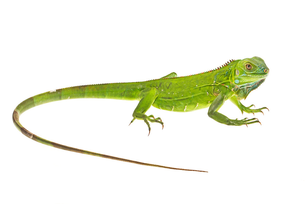 Studio portrait of a baby green iguana (Iguana iguana) on a white background.