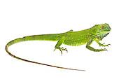 Studio portrait of a baby green iguana (Iguana iguana) on a white background.