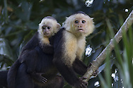 Adult and juvenile Brown Capuchin Monkey (Cebus paella), Osa Peninsula, Costa Rica