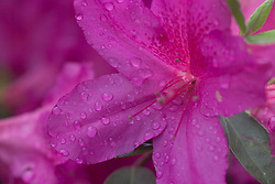 Stock photo of an azalea flower at Sam Houston Park