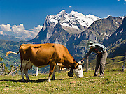 "The Wetterhorn or ""Weather Peak"" (12,143 feet) rises above a cow pasture at Kleine Scheidegg in the Berner Oberland, Switzerland, the Alps, Europe. A hiker pets a large cow. The Bernese Highlands are the upper part of Bern Canton. In 2001, UNESCO honored Jungfrau-Aletsch-Bietschhorn as a World Heritage Area. UNESCO lists ""Swiss Alps Jungfrau-Aletsch"" as a World Heritage Area (2001, 2007). Published in Wilderness Travel 2013 Catalog."
