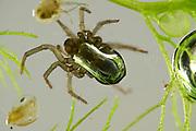 Diving bell spider, water spider (Argyroneta aquatica) is the only species of spider known to live almost entirely under water. | Wasserspinne, Silberspinne (Argyroneta aquatica) lebt unter Wasser. Beim tauchen nimmt sie eine Luftblase, die sich zwischen den Haaren verfangen hat mit. Die Luft umschließt den Hinterleib und lässt ihn silbrig glänzen.