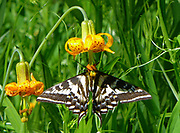 swallowtail butterfly tiger lily flower Insects, bugs, and arachnids among other invertebrates in southern BC and Vancouver Island in the Pacific North-West.