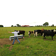 Farmer Enda Doran checks his cattle in one of his farmung land in Ballinasloe, Co. Galway...Mr. Doran is the eldest of 3 brothers and sisters and by tradition the heritor of the family farming land and business. His farming activities involve cereal and potato production, cattle and sheep breathing and contract work for other farmers.