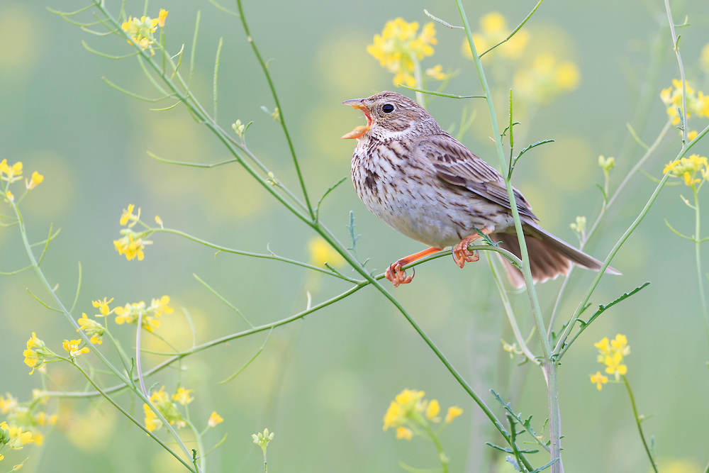 Corn Bunting (Emberiza calandra) perched on branch and calling. Lleida province. Catalonia. Spain.