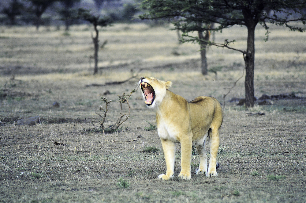 A lioness out for a meal (she's yawning). Masa Mara, Kenya