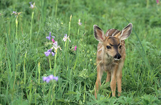Mule Deer, (Odocoileus hemionus) Spotted fawn in wildflowers of Sticky Geraniums and Wild Iris. Montana.
