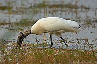 Wood Stork, (Mycteria americana), Arthur J Marshall National Wildlife Reserve - Loxahatchee, Florid   Photo: Peter Llewellyn