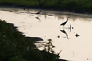 A couple of Herons stand in the water as the sun begins to set at the Blackwater National Wildlife Refuge on Wednesday, July 7, 2010 in Cambridge, MD.
