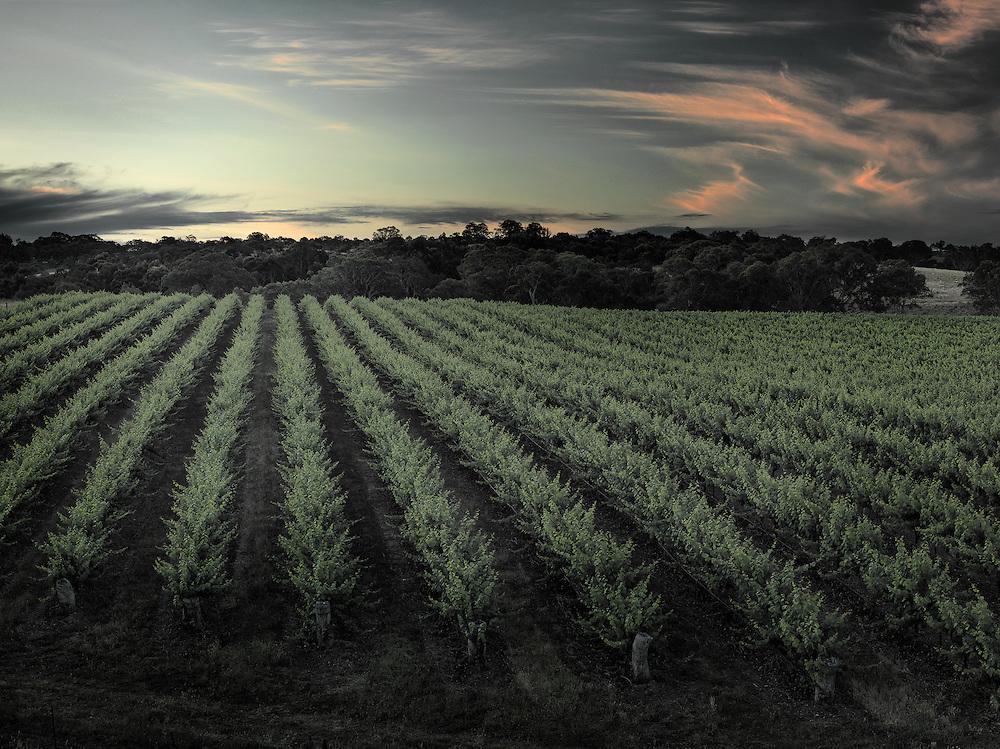 Mesh vineyard at sunset