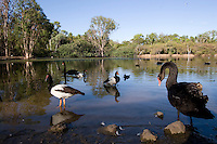 Black Swans and Magpie Geese congregate around a small lake in the centre of Townsville's Billabong Sanctuary.