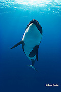 orca or killer whale, Orcinus orca (c,dc)