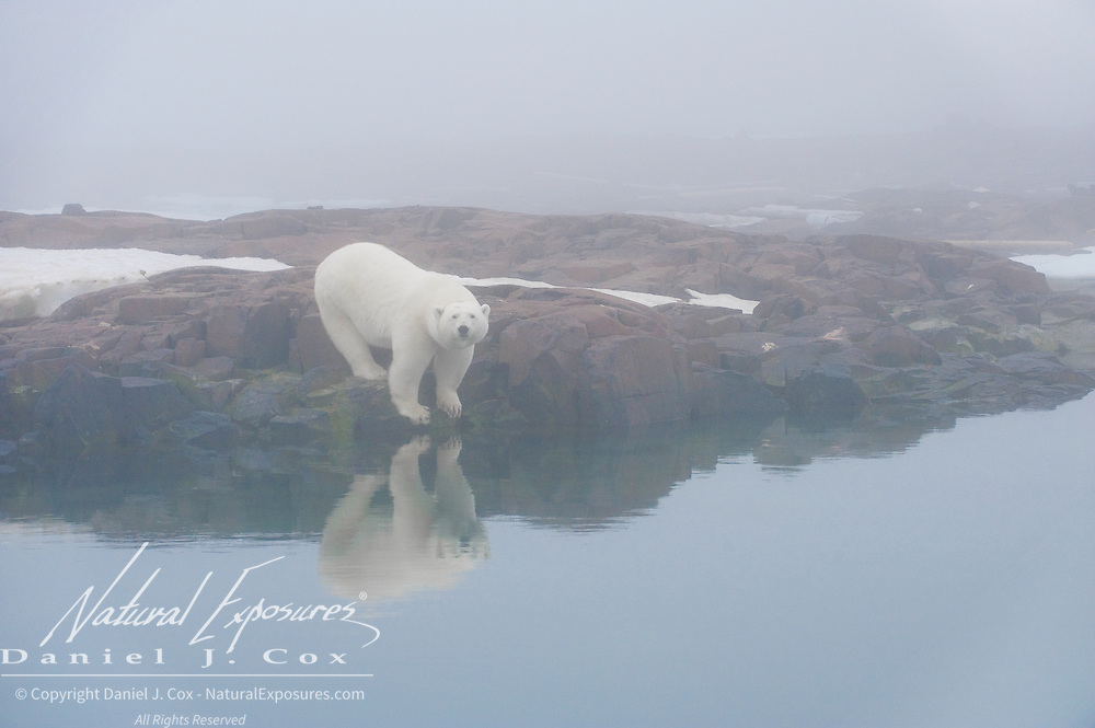 A polar bear on land. Svalbard, Norway