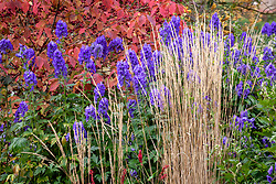 Autumn border at Pettifers. Calamagrostis × acutiflora 'Karl Foerster', Aconitum carmichaelii Arendsii Group 'Arendsii' and Euonymus planipes - Flat-stalked spindle tree syn. Euonymus sachalinensis misapplied