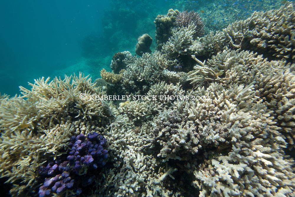 "Coral bleaching at ""The Aquarium"", in Clerke Lagoon at the Rowley Shoals."