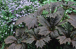Rodgersia podophylla and forget-me-nots