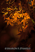 Autumn's Golden Sun Lights Delicate Japanes Maple Leaves. A Limited Edition Print.