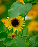 Sunflower hiding from the deer. Image taken with a Fuji X-H1 camera and 200 mm f/2 OIS lens + 1.4x teleconverter