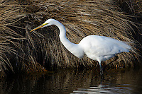 Great Egret, Ardea alba, Chincoteague National Wildlife Refuge, Virginia, USA