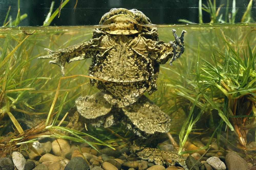 Giant Titicaca Frog (Largest aquatic frog in the World)<br />Telmatobius culeus<br />Lake Titicaca.  BOLIVIA & PERU  South America