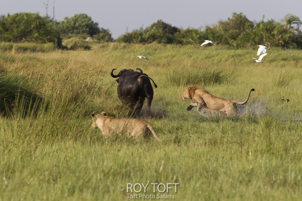 African lions (Panthera leo) hunting Cape buffalo, Duba Plains, Botswana