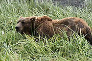 A Brown bear sow eats marsh grass at the McNeil River State Game Sanctuary on the Kenai Peninsula, Alaska. The remote site is accessed only with a special permit and is the world's largest seasonal population of brown bears in their natural environment.