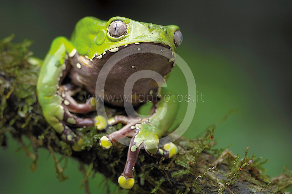 Phyllomedusa bicolor, also known as blue-and-yellow frog, bicoloured tree-frog, giant monkey frog, giant leaf frog, or waxy-monkey treefrog, is a hylid frog. It is found in the Amazon basin as well as some surrounding areas.