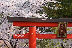 Asia, Japan, Honshu island, Nara, torii gate at entrance to Shinto shrine, under cherry tree in bloom