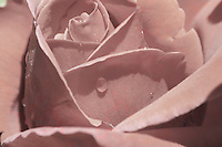 surreal rose in sepia color close-up, water drops  on petals