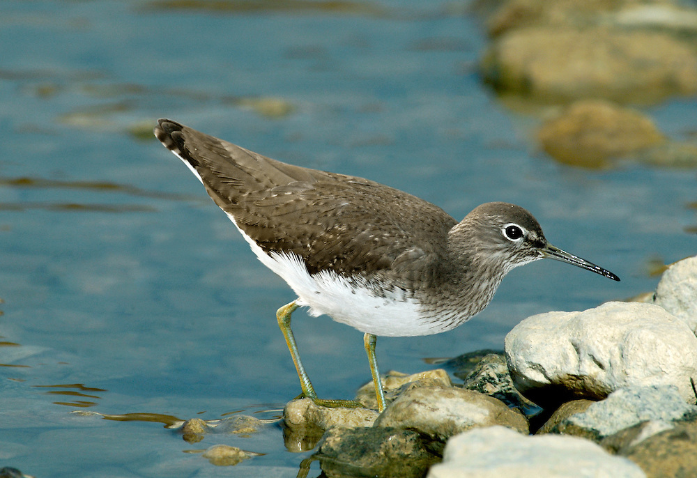 Green Sandpiper Tringa ochropus L 21-23cm. Plump-bodied wader with a bobbing gait. Unobtrusive and often first observed when flushed: note white rump and yelping alarm call. Tail is marked with a few, broad dark bands. Sexes are similar. Adult has rather dark brown upperparts with small pale spots. Head and neck are streaked; note clear demarcation between dark, streaked breast and clean white underparts. Pale supercilium is bold only in front of eye and legs are greenish yellow. Juvenile is similar but pale spotting on upperparts is more noticeable. Voice Utters a trisyllabic chlueet-wit-wit flight call. Status Widespread and fairly common passage migrant, found on freshwater habitats. Winters in small numbers.