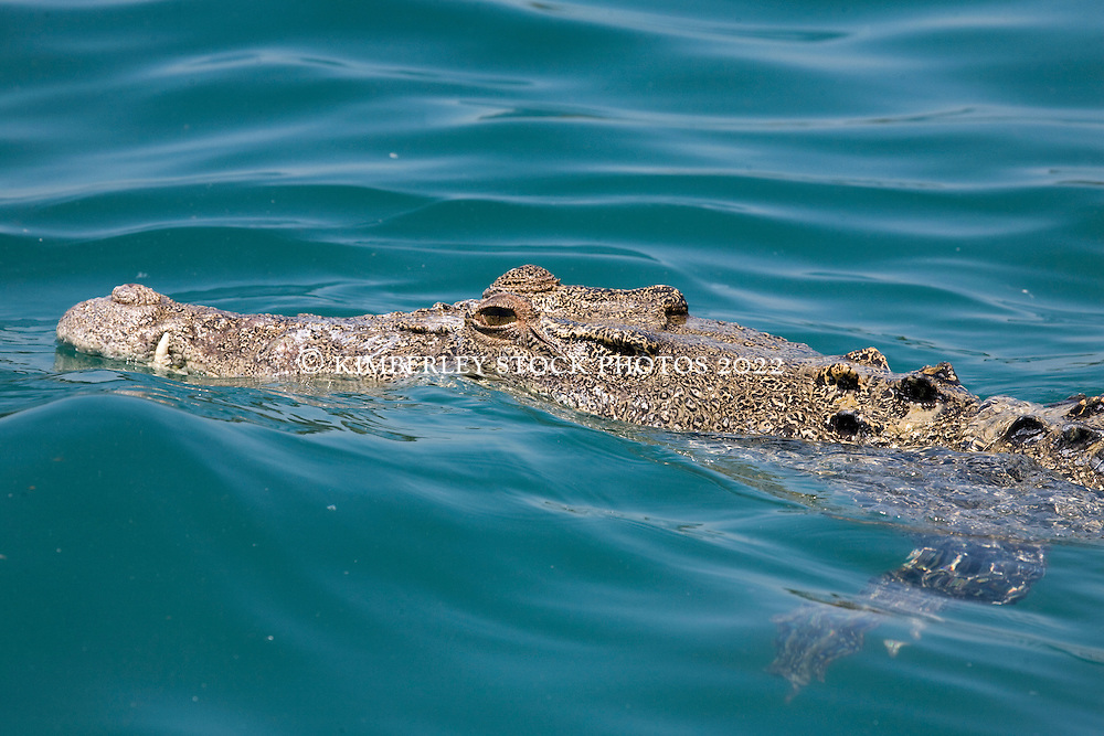 A saltwater crocodile swims on the surface in Camden Sound, hoping for passing morsels of meat from a freshly washed up dead whale on Hall Point.