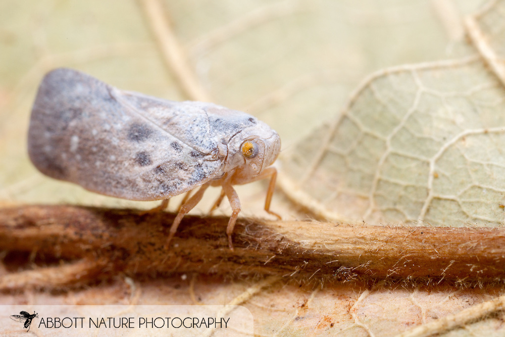 Citrus Flatid Planthopper (Metcalfa pruinosa)<br /> TEXAS: Jasper Co.<br /> Brookeland/Lake Sam Rayburn @ 505 Co Rd 212<br /> 19.July.2015<br /> J.C. Abbott #2768 &amp; K.K. Abbott